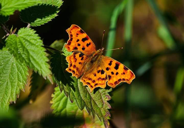 The Comma Butterfly - once almost extinct through loss of its favourite habitat - the Hop Gardens in Kent, making a comeback here on the Common having adapted to living in nettle beds.