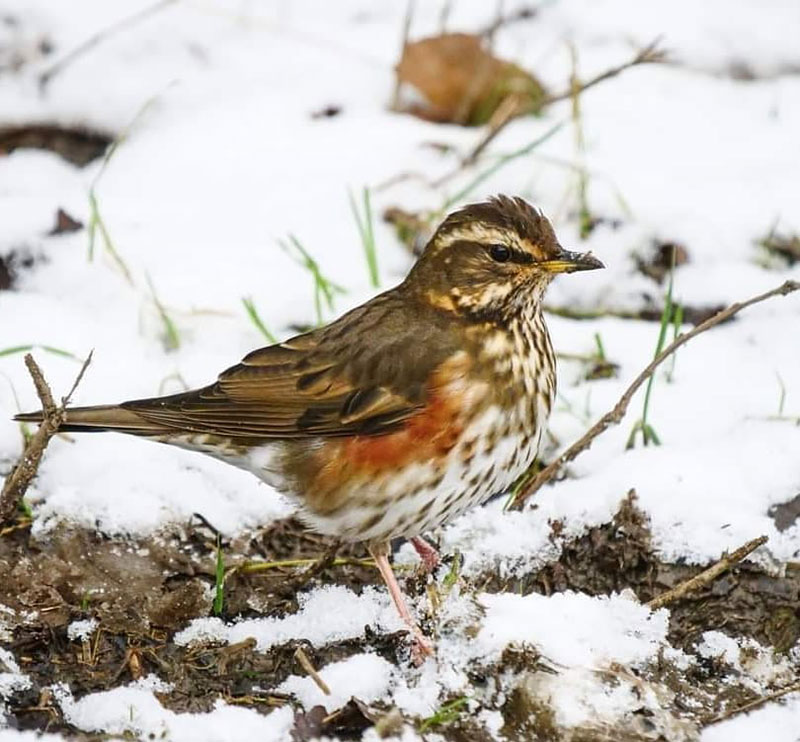 Redwing, visiting from Russia. There are lots of tasty things for me to eat on the Common.