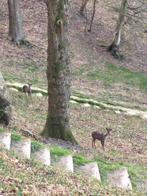 Deer at Happy Valley